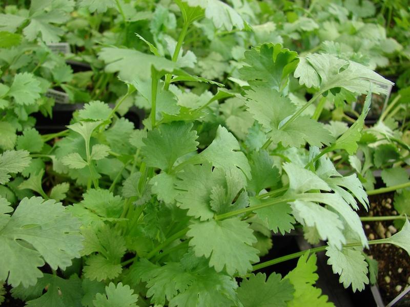 Red del buen comer ensalada de cilantro