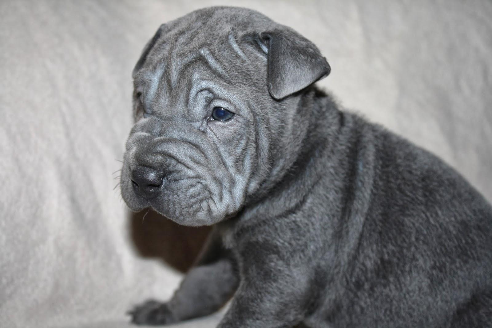 Amazing Grey Blue Eye Adorable Dog - 051113+033  Photograph_412043  .JPG
