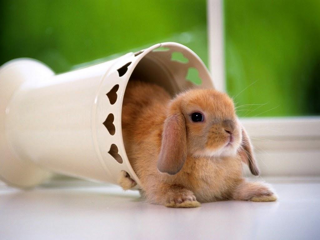 """<img src=""""http://2.bp.blogspot.com/-f6m8qL83zPQ/Utg9O0RPhzI/AAAAAAAAIXc/v4nr9Qgl3sE/s1600/animal-wallpapers-cute-rabbit.jpeg"""" alt=""""rodents wallpapers"""" />"""