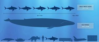 La ballena azul puede llegar a medir 31 metros