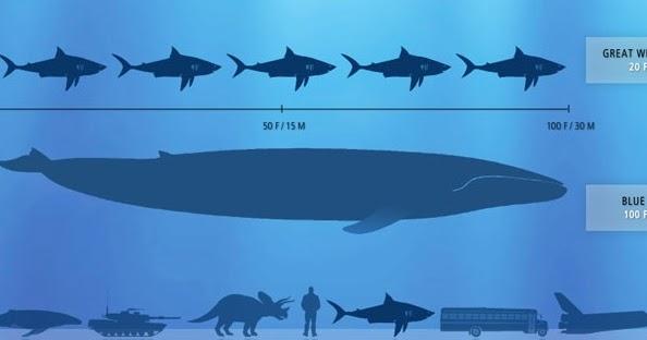 El pene de la ballena azul Biologa y Geologa