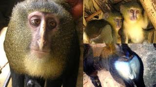 Telah Ditemukan Spesies Monyet Baru Di Afrika dari daniel maulana