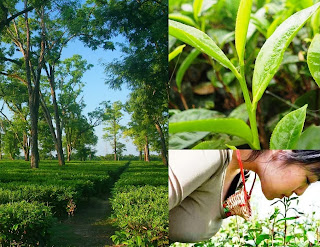 How to Start Your own Tea Garden Business