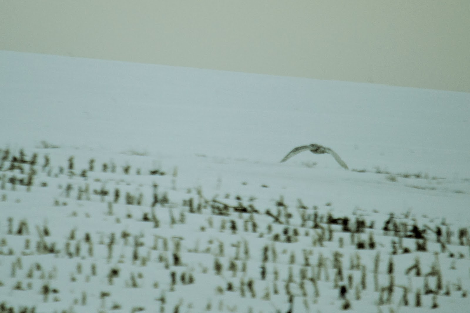 snowy owl flying across a snow-covered field
