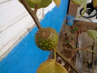 buah memabukan ber efek halusinasi