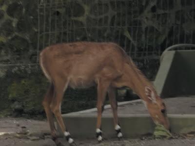 foto nilgai antelope 05