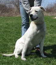 Manny Male Very Urgent American Bulldog Mix ~Lisbon, OH ~ 330-424-6663