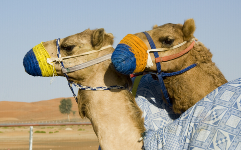 Camels may be source of MERS-CoV