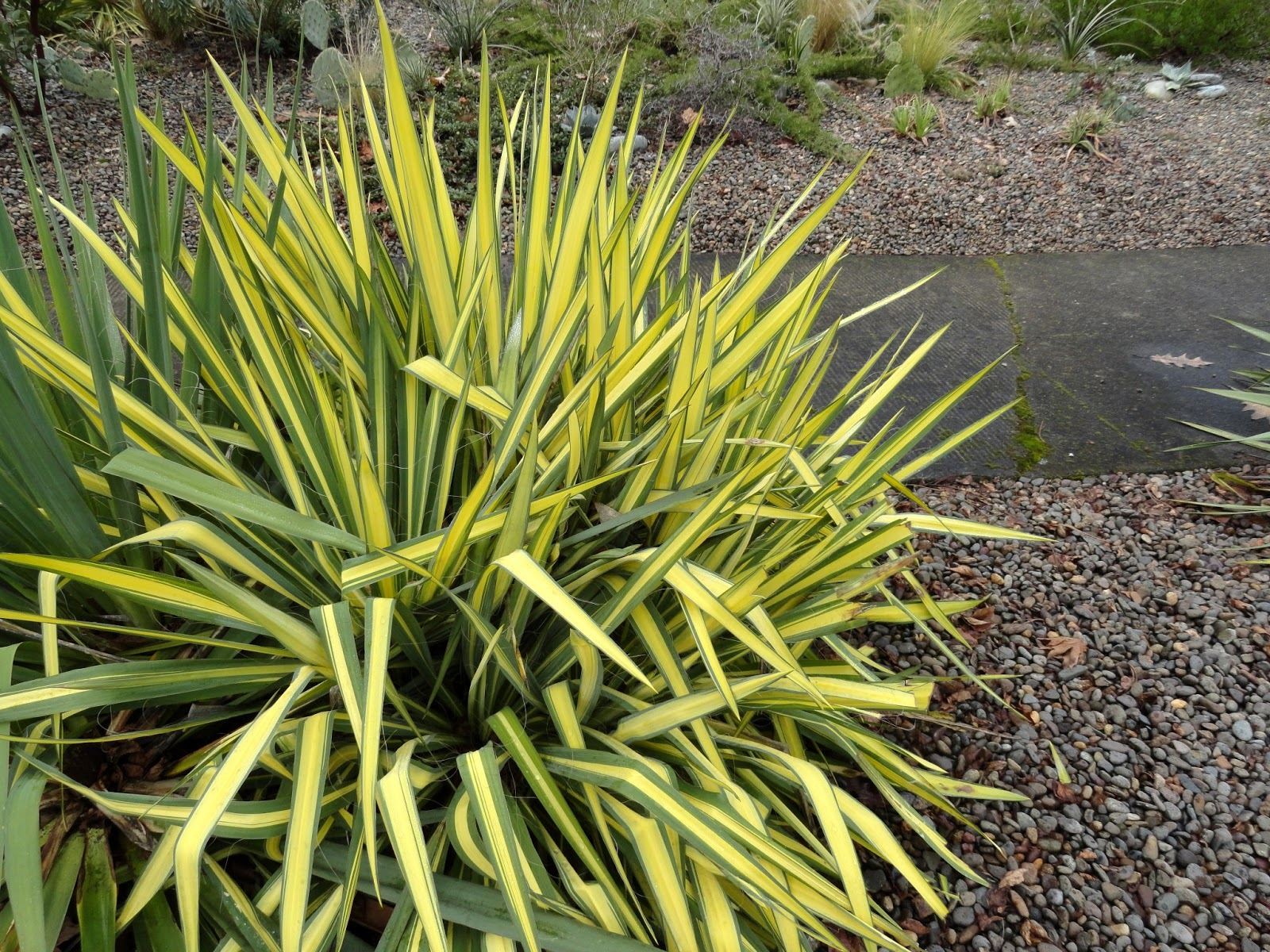 danger garden another yucca filamentosa is my favorite. Black Bedroom Furniture Sets. Home Design Ideas