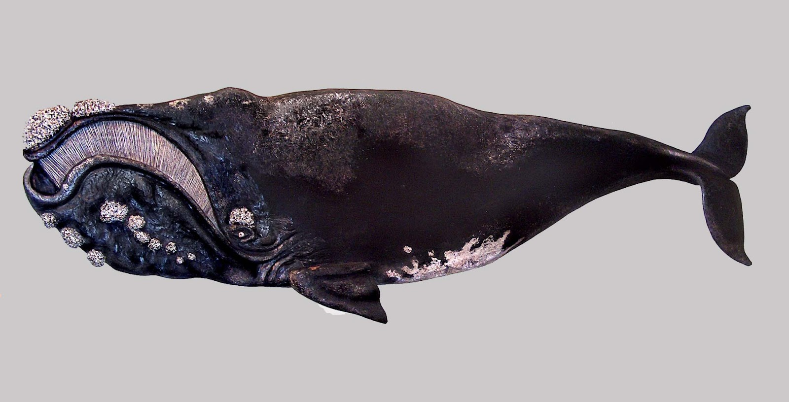 right whale The north atlantic right whale is a massive and endangered creature that could  disappear altogether if humans don't take action to save them,.