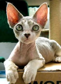 cornish rex cat looking straight ahead