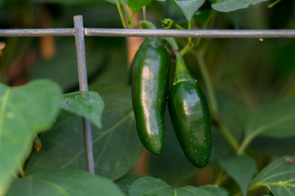 How to Use Coffee Grounds in Your Garden for Jalapenos