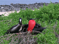 Frigate Bird Male and Female Pair