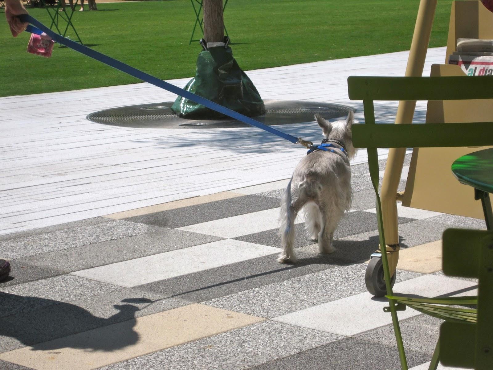 Giant Schnauzer Mastiff Mix This miniature schnauzer
