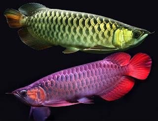 Cara pemeliharaan Ikan Arwana