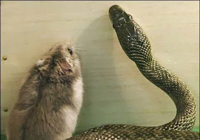 ular-dan-hamster-001-destriyana+(1).jpg (476×332)