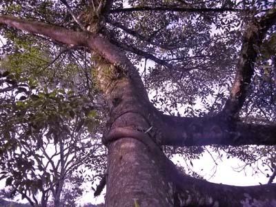 Árvore, figueira, folhas, preservação do meio ambiente