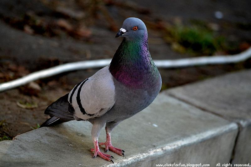 common grey gray pigeons birds public spaces photos blogging