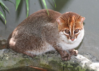 gambar Flat-headed cat