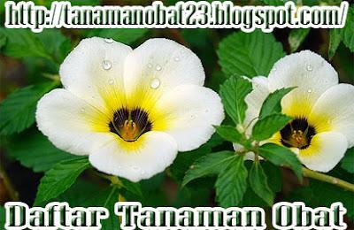 Manfaat Dan Khasiat Tanaman Bunga Pukul Delapan  (Turnera ulmifolia L.)