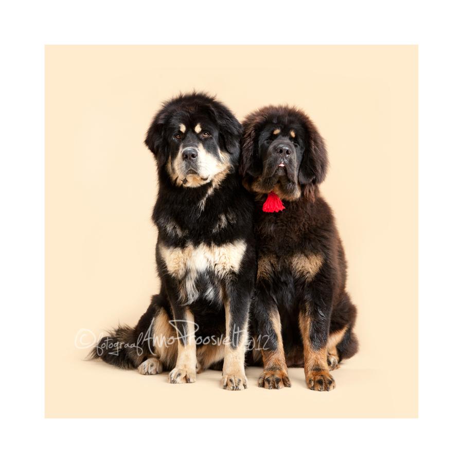 kaks-suurt-koera-pildistamas