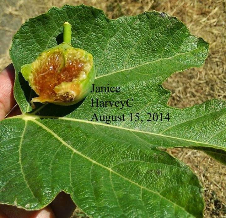 janice figs