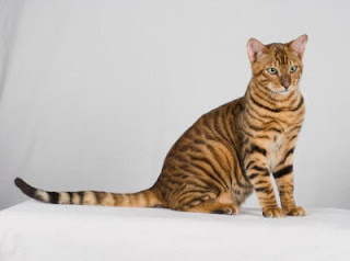 toyger cat breeder information pets kittens animal domestic