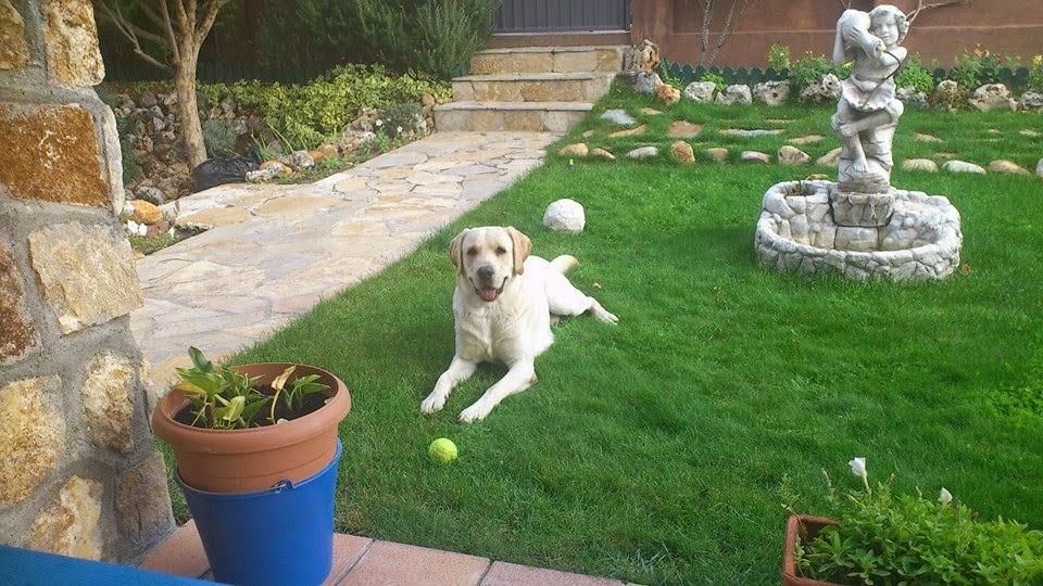 perro labrador en un hogar