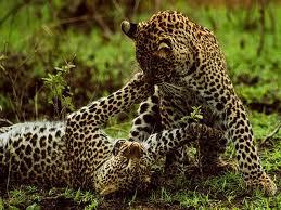 Leopardos jóvenes jugando