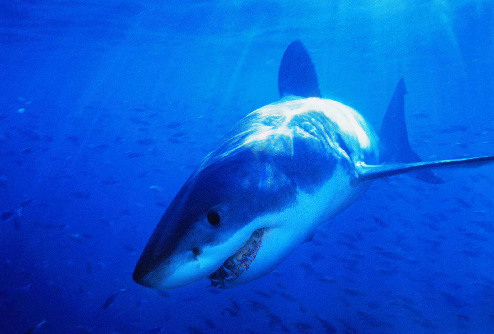http://2.bp.blogspot.com/-fB50W4lfcaM/Tkgkh8BOAuI/AAAAAAAALOw/yLRVUdfkUmQ/s1600/Sharks+and+Killer+Whales+Wallpaper+%252815%2529.JPG