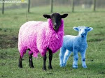 Jenis-jenis Domba