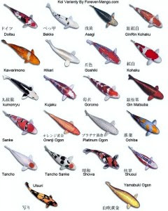 Marine sciences types and classification of koi fish for Koi fish varieties