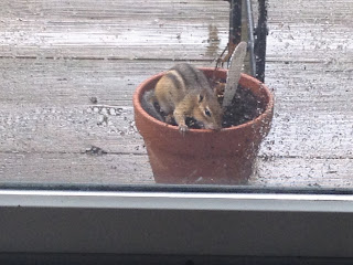 chipmunk in a pot