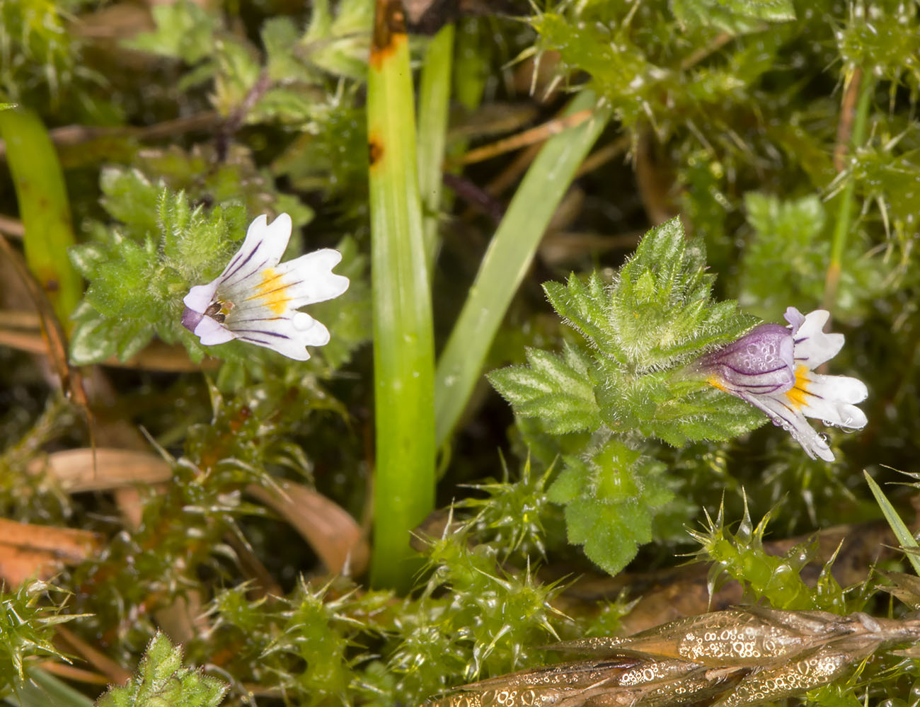 Eyebright, Euphrasia officinalis ssp. anglica.  Knole Park, 15 August 2014.
