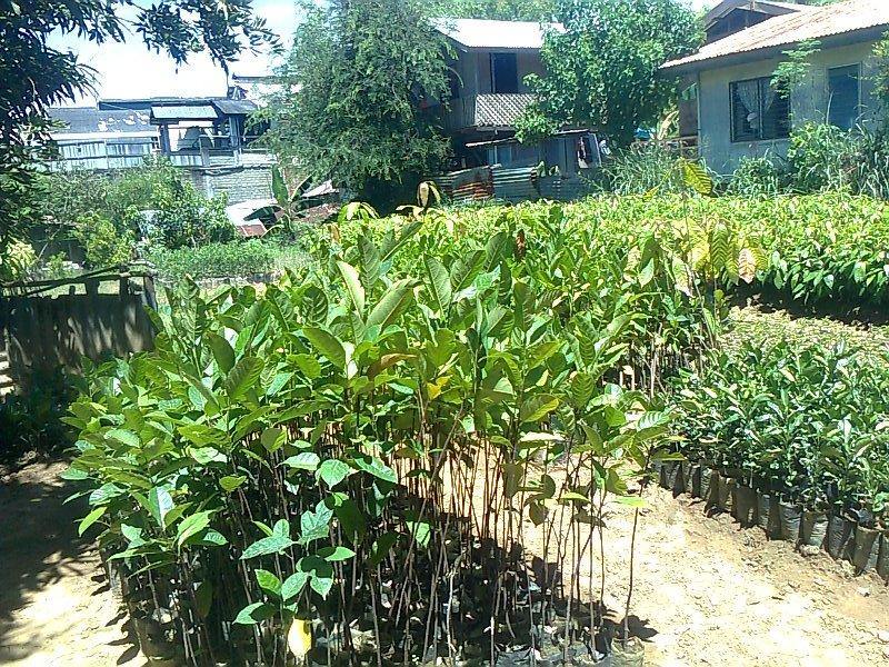 Fruit trees for sale jackfruit seedlings for sale for Fruit trees for sale