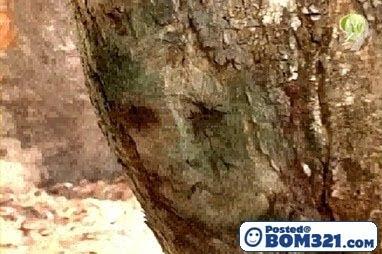Wajah Misteri Di Batang Pokok Akasia