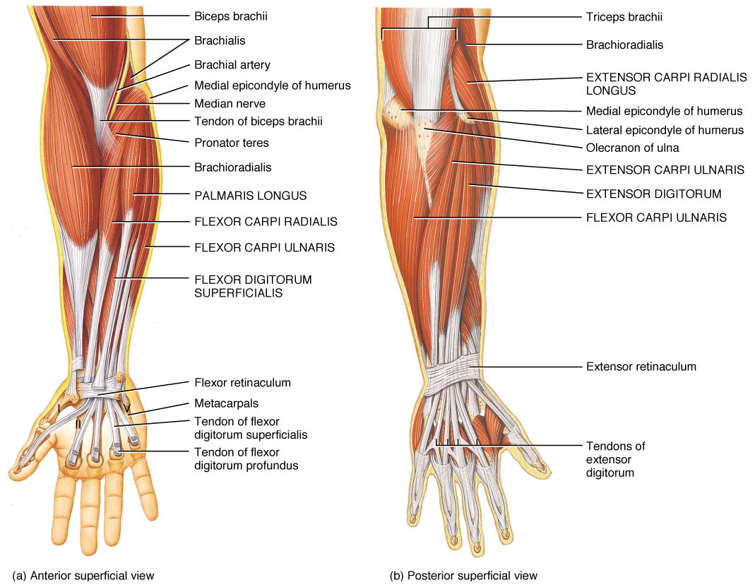 Forearm Muscle Twitch