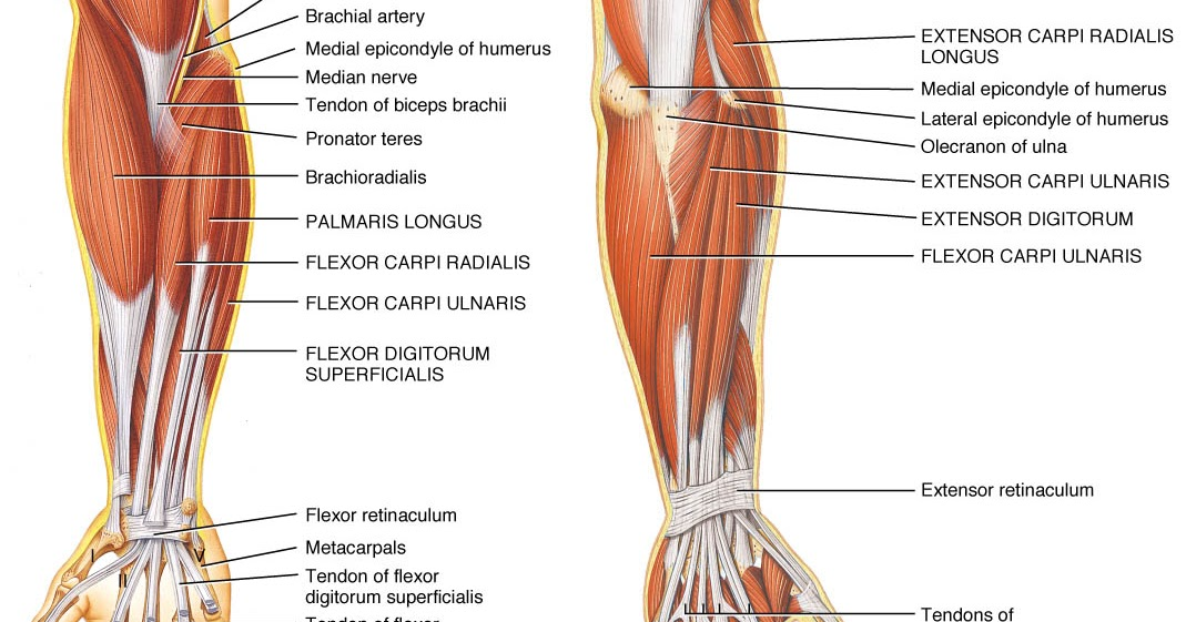 forearm muscle twitch, Skeleton