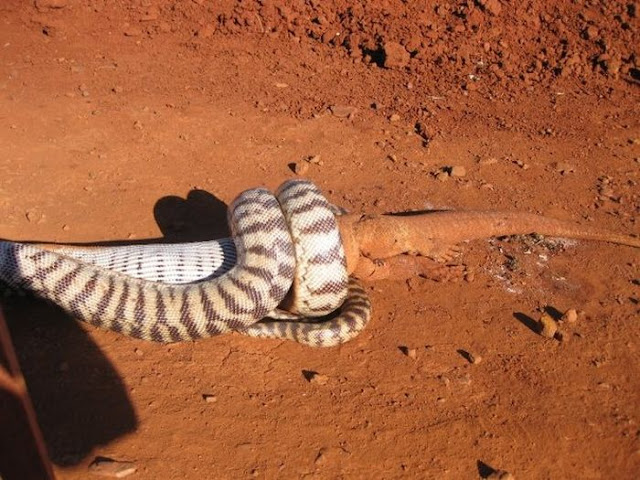 snake eats lizard, python eats lizard three times its size, snake vs lizard