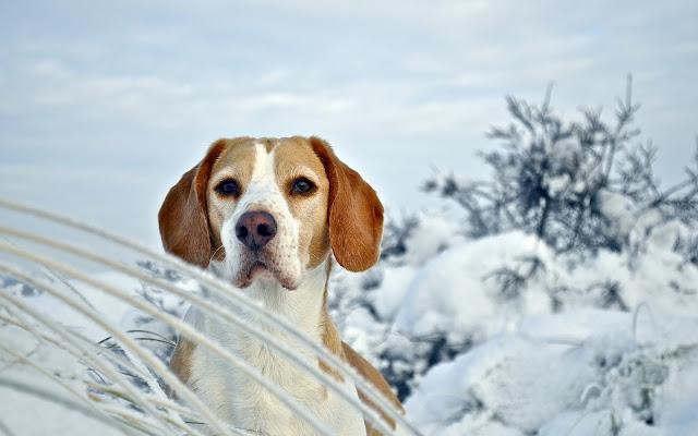 Perros Beagle en el Campo
