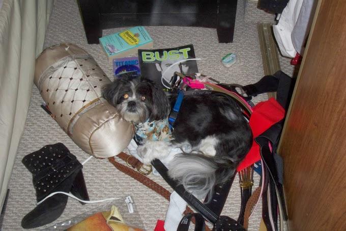 Shih Tzu puppy among mess, clutter, Skippy, disorganized