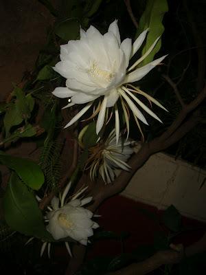 Nature: Brahma Kamal flower