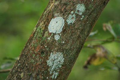 Lichens on a tree inside BRT tiger reserve, Karnataka