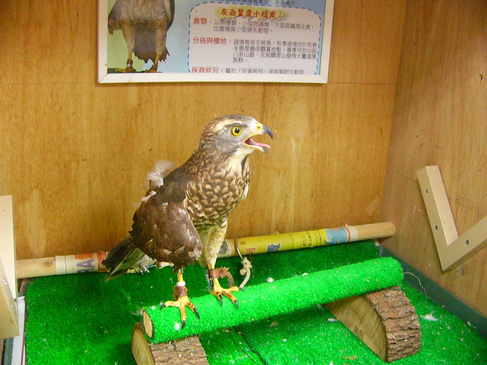 特有生育保育中心受傷的灰面鵟鷹