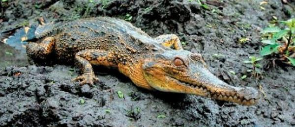 slender-snouted-crocodile