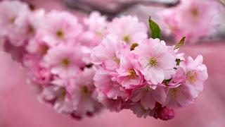 Flor de la cereza Macro