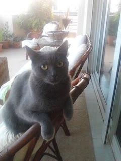 Χάθηκε η Μόνικα, στειρωμενη γατούλα, με γκρι σκουρο τρίχωμα χωρίς λουράκι στον Άλιμο