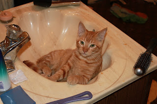 cat in sink, autolycus cat, fat orange kitten
