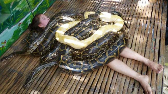 Snake massage with four giant Burmese Pythons at Cebu City Philippines