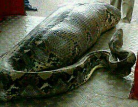 snake eats woman alive in south africa